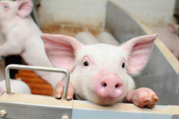 В 8 регионах выявили африканскую чуму свиней. экономика, животноводство, свиньи, африканская чума