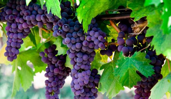 Закон о введении акцизов на виноград может привести к росту цен на вино. экономика, акцизы, виноград, вино