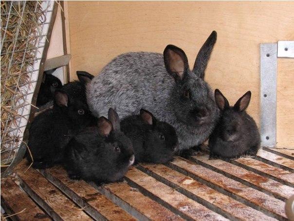 Бизнес-идея: разведение кроликов