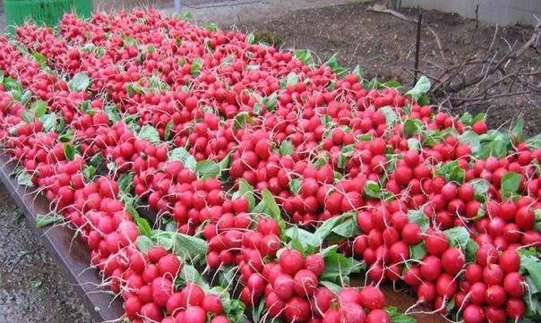 Бизнес-план: Выращивание редиса в теплицах