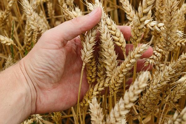 Алтай начинает осваивать азиатский рынок зерна. 26596.jpeg