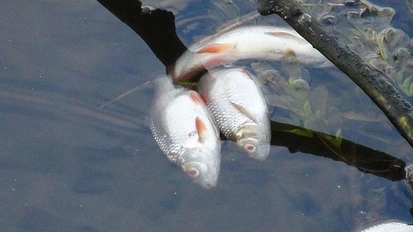 На Пахре отравили рыбу. 26650.jpeg
