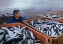 Мнение: Сокращение поставок рыбы с Дальнего Востока - сезонное явление