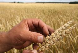 Зерна собрали почти с 95% посевных площадей