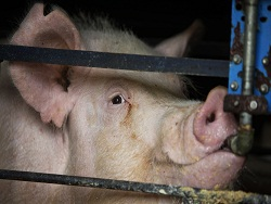 Амбиции свиноводов усмирила чума