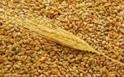 ФТС выступила за создание зернового терминала в Усть-Луге
