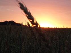 Экспорт пшеницы из России сократился в пять раз