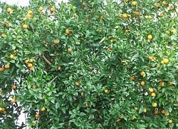 Дешевые апельсины можно выращивать на Ставрополье - мнение