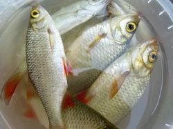 Необходимо ограничение экспорты рыбы из РФ - Ишаев