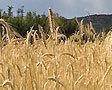 Пшеница немного выросла в цене