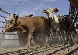 Отказ селян от коров бьет по молочной отрасли