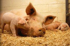 В феврале Украина закупила у России свинину на $4,5 млн