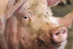 С 15 ноября вводится запрет на ввоз свиней из Германии