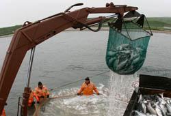 Рыбы выловили больше почти на 5% с начала года