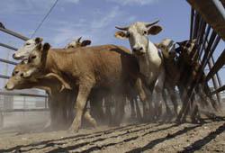 Плюсы и минусы: ВТО бьет по мясу