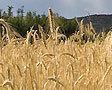 Урожай зерна в России в 2012 году будет меньше прошлогоднего