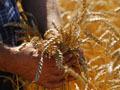Правительство придержит зерно пошлинами