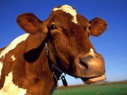 Алтай примет выставку крупного рогатого скота