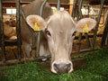 Современный пастух для коров - микрочип