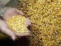 В России есть люди, которые могут развивать семеноводство - профессор