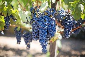 В  Крыму закладывают около тысячи гектаров виноградников ежегодно