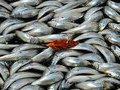 Рыбаки создают дефицит охлажденной рыбы