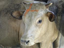 Рынок Камчатки занят мясом из Бразилии