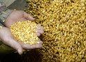 Виктор Лищенко: Зарубежные семена увеличивают урожай в 3-4 раза